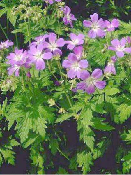 Géranium vivace des bois 'Mayflower'