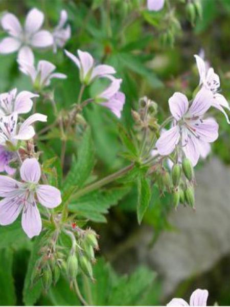 Géranium vivace des bois 'Var. Wanneri'