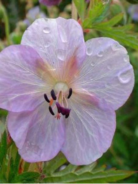 Géranium vivace des près 'Bittersweet'
