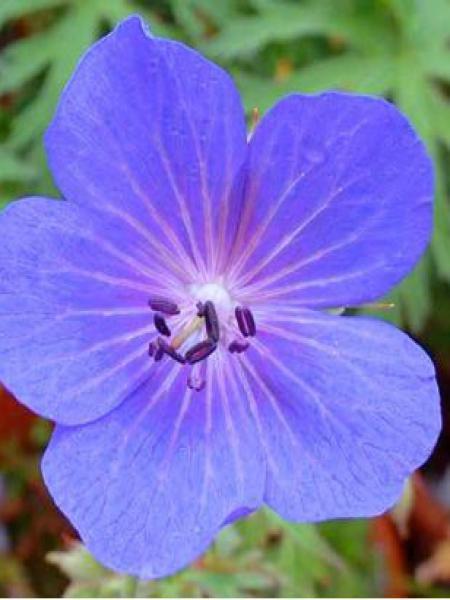 Géranium vivace des près 'Cluden Sapphire'
