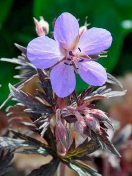 Géranium vivace des près 'Hocus Pocus'