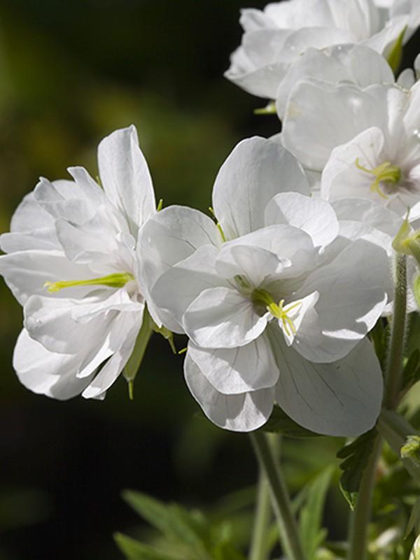 Géranium vivace des près 'Laura'