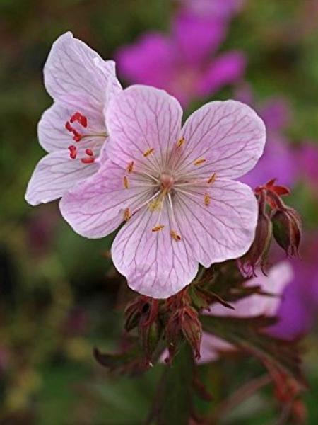 Géranium vivace des près 'Marshmallow'
