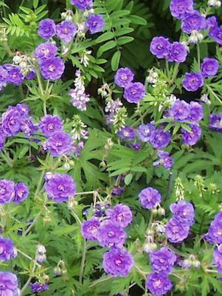 Géranium vivace des près 'Plenum Violaceum'