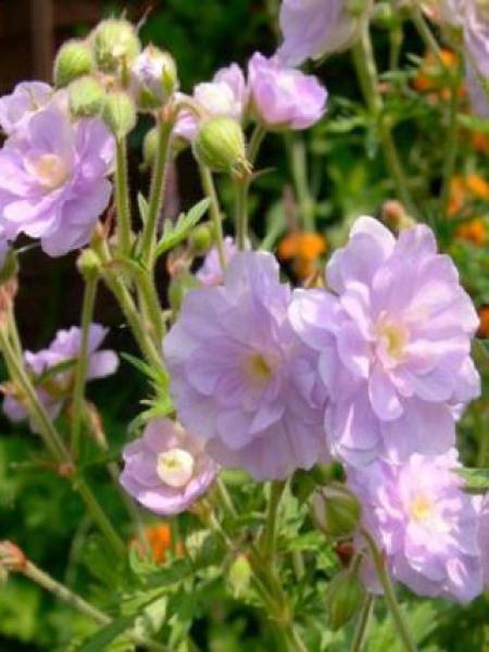 Géranium vivace des près 'Summer Skies'