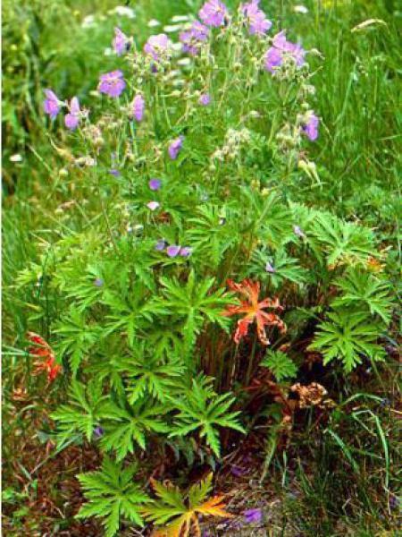 Géranium vivace des près
