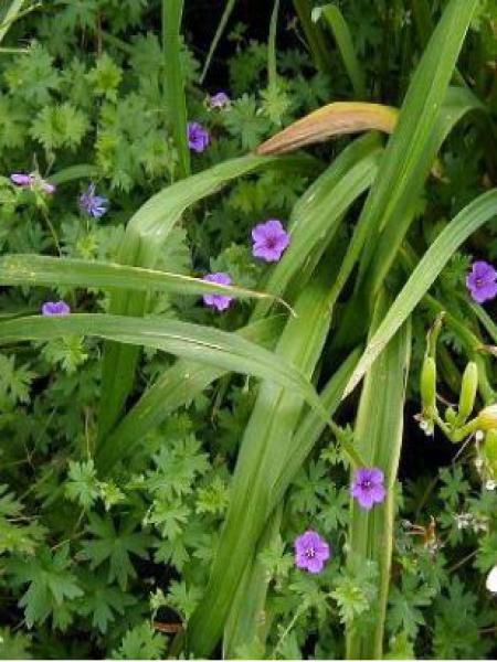 Géranium vivace 'Dilys'