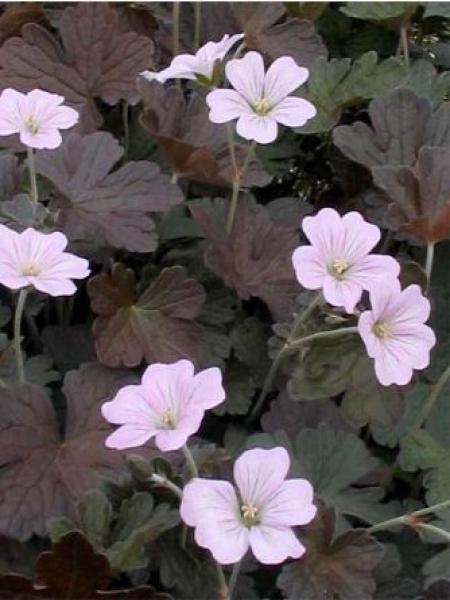 Géranium vivace 'Dusky Crug'