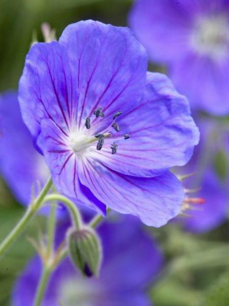 Géranium vivace 'Eureka Blue'
