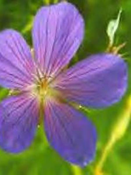 Géranium vivace 'Kashmir Blue'