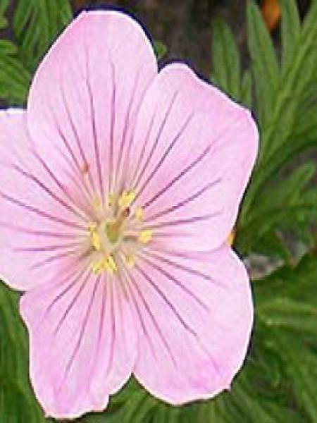 Géranium vivace 'Kashmir Pink'