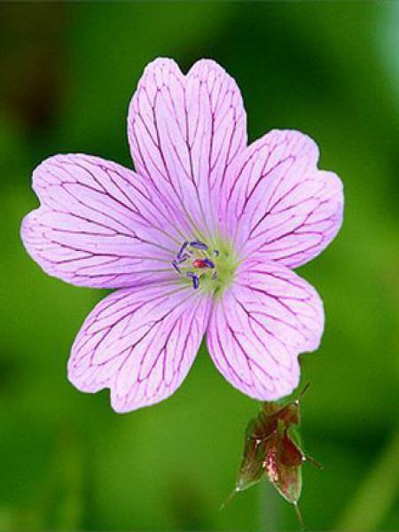 Géranium vivace 'Lady Moore'