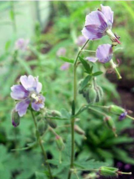 Géranium vivace livide 'Blauwvoet'