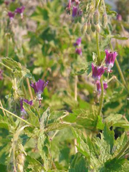 Géranium vivace livide 'Golden Spring'