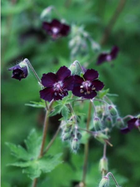 Géranium vivace livide 'Mourning Widdow'
