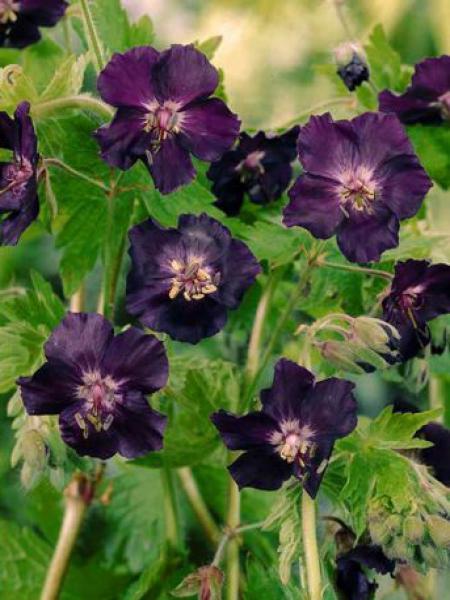 Géranium vivace livide 'Raven'