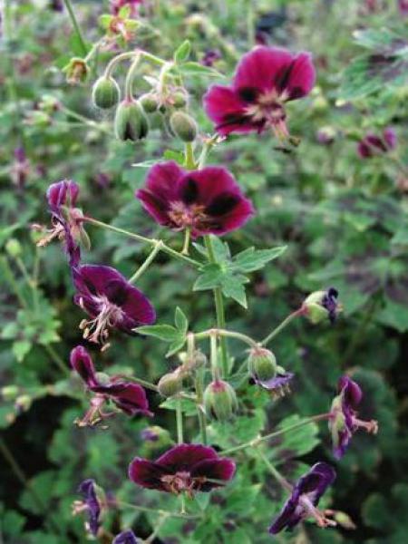 Géranium vivace livide 'Samobor'