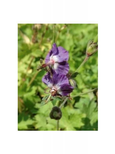 Géranium vivace livide 'Spotless'