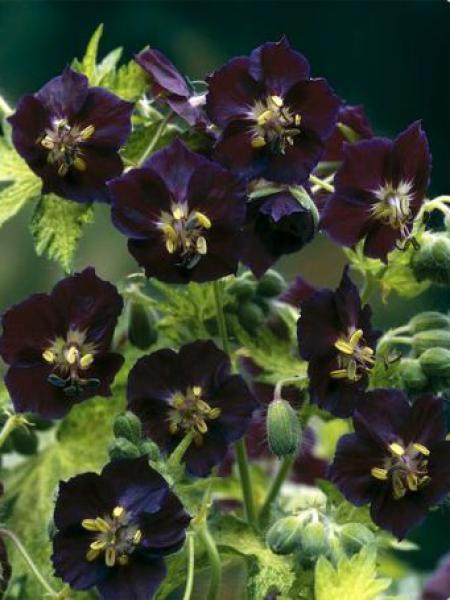 Géranium vivace livide 'Springtime'
