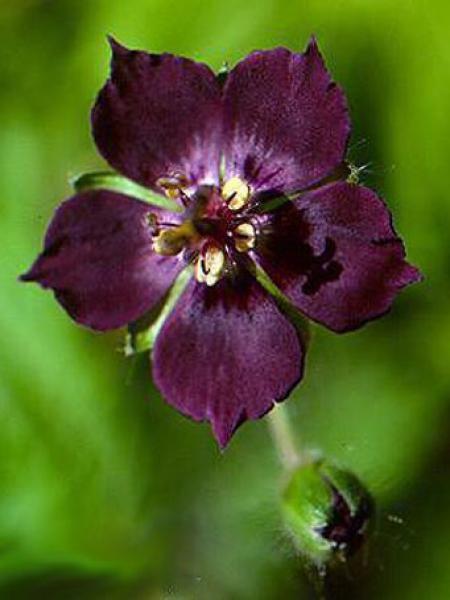 Géranium vivace livide