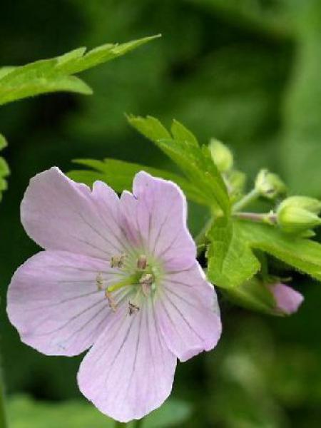 Géranium vivace maculé 'Chatto'