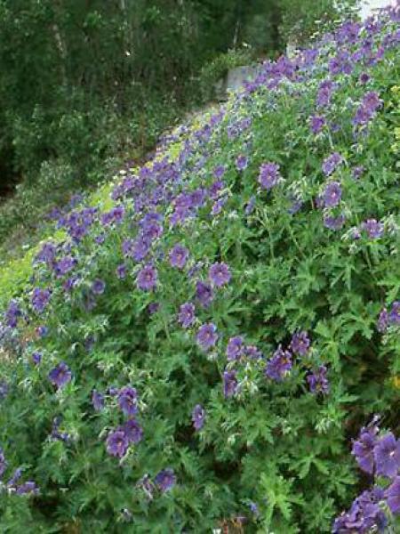 Géranium vivace magnifique