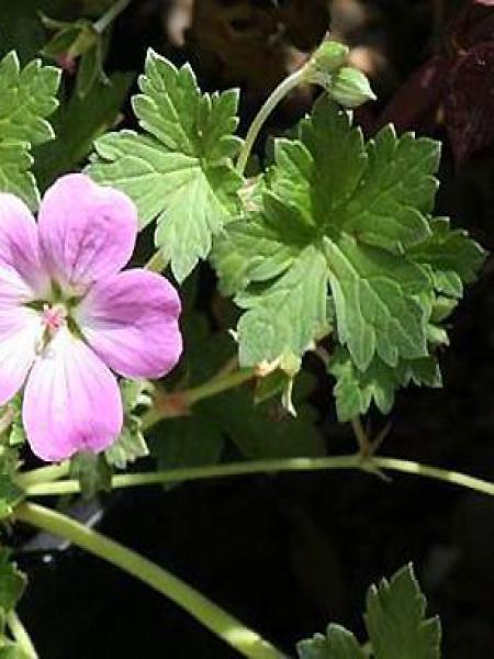 Géranium vivace 'Mavis Simpson'