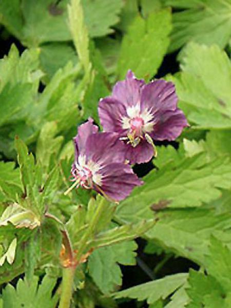 Géranium vivace monacense
