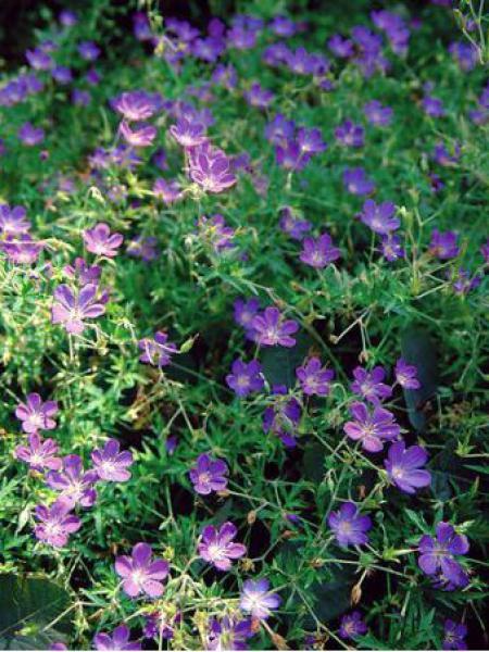 Géranium vivace 'Nimbus'