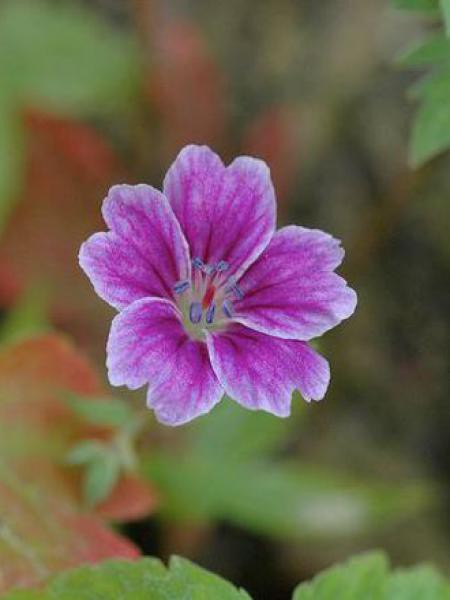 Géranium vivace noueux 'Clos Du Coudray'