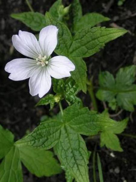 Géranium vivace noueux 'Silverwood'