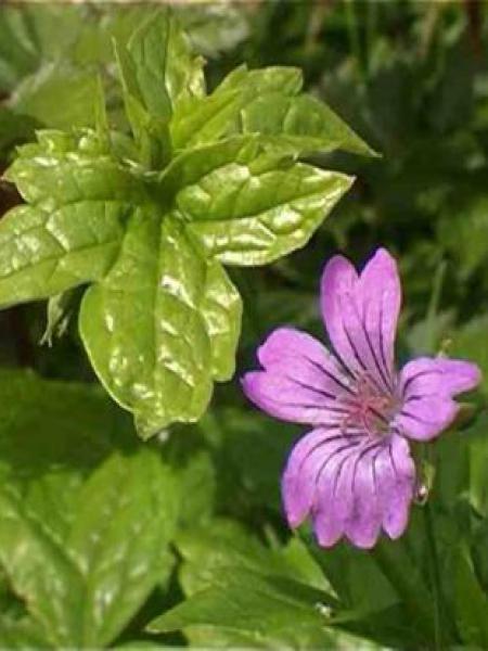 Géranium vivace noueux
