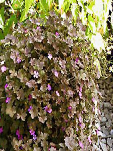 Géranium vivace 'Orkney Cherry'