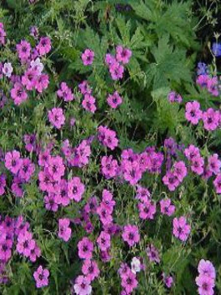 Géranium vivace 'Patricia'