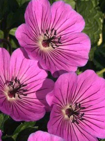 Géranium vivace 'Pink Penny'