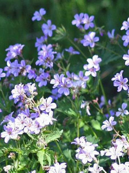 Géranium vivace 'Prelude'