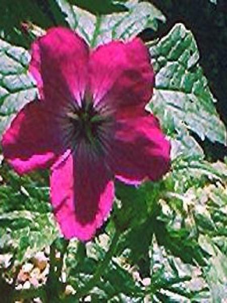 Géranium vivace psilostemon 'Red Admiral'