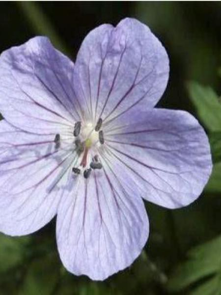 Géranium vivace regelii
