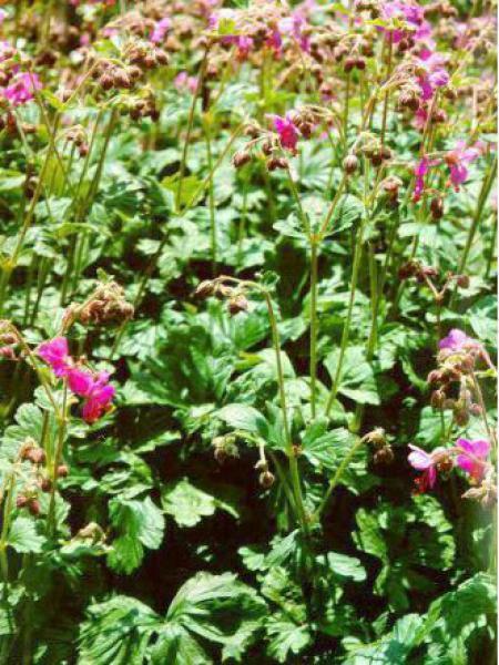 Géranium vivace rhizomateux 'Bevan's Variety'