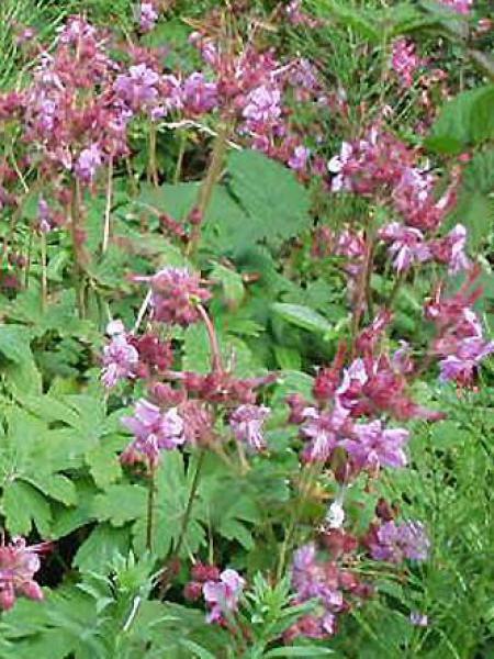 Géranium vivace rhizomateux 'Ingwersen's Variety'
