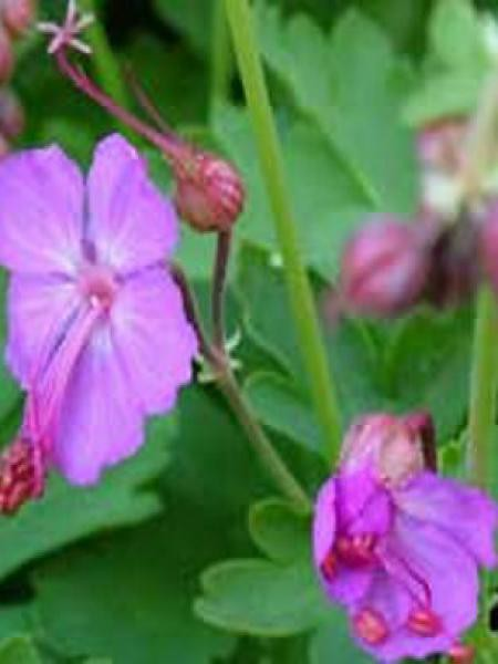 Géranium vivace rhizomateux 'Mytikas'