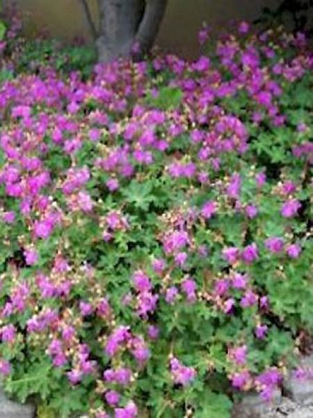 Géranium vivace rhizomateux 'Olympos'