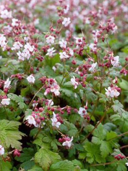Géranium vivace rhizomateux 'Spessart'