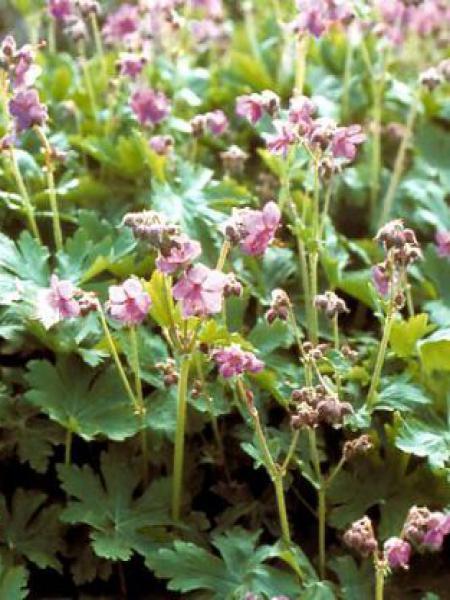 Géranium vivace rhizomateux