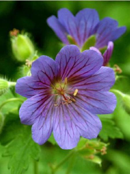 Géranium vivace 'Rosemoor'