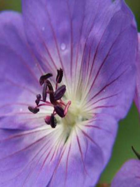 Géranium vivace 'Rozanne'