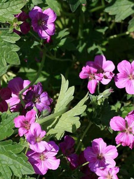 Géranium vivace 'Russel Prichard'