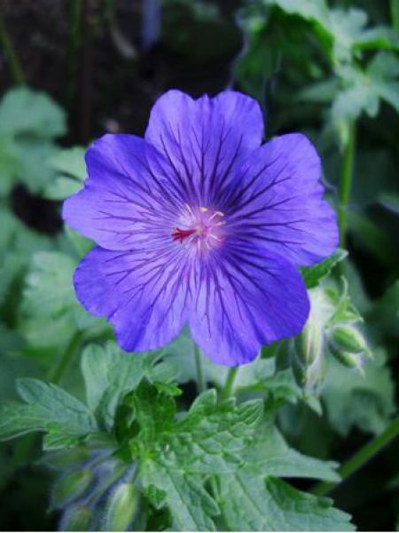 Géranium vivace 'Sabani Blue'®