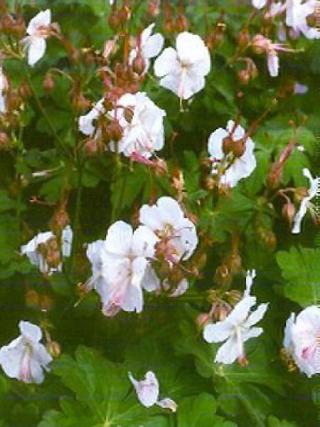 Géranium vivace 'Saint Ola'