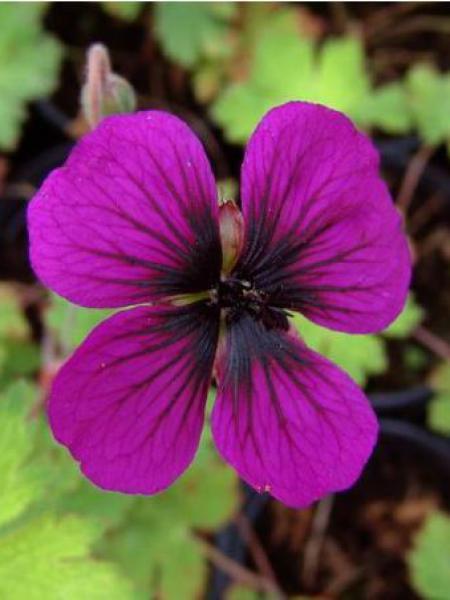 Géranium vivace 'Sandrine'